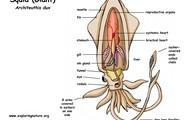 Diagram of a Squid