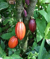 These are the cacao beans at different stages