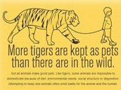 many people get killed by tigers ever year