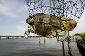 A Crab is also a aquatic organism