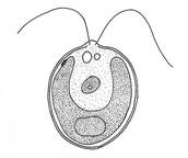Unicellular Organism