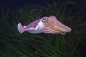 Facts about the Cuttlefish