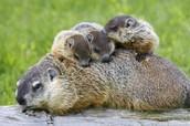 Groundhog Fun Facts