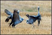 Blue Crane Courtship Dance