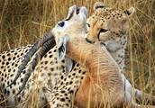 Gazelle Hunt