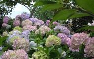 Hidrangea in ElmAgos garden
