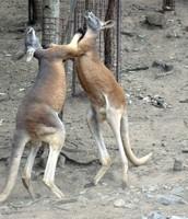 Kangaroo kickboxing.