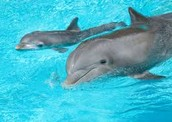 Baby and Mom Dolphin