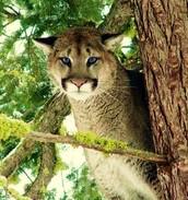 A mountain cat