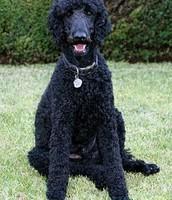 Wellington Mrs Shears dog