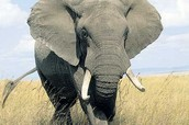 Elephants Injuries and Deaths