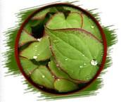 Epimedium Leaf Extract (EPIMEDIUM SAGITTATUM)