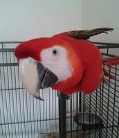!Scarlet Macaw!