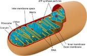 Mitochandria