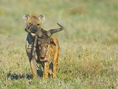 Hyena Eating