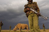 The last male white rhinoceros on earth under guard 24 hours
