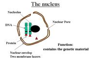 Diagram Emphasizing the Nucleus's Pores