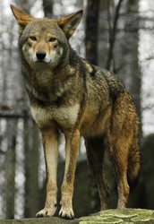 The red wolf or Canis rufus