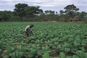 where is tobacco farming