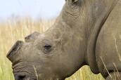 Rhino Horn Severed