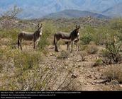 Staring Donkeys