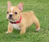 frinch bull dog puppy