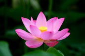 Lotus- Vietnam's national flower
