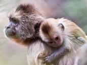 קוף הקפוצין