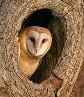 Barn Owl sitting in a tree