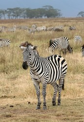 Do zebras adapt to survive?