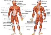 work out those muscles in your muscular system