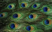 Future Peacocks