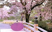 See the cherry trees bloom