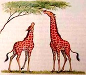 Similarly, giraffes get taller each generation
