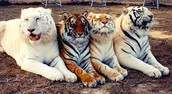 Beutiful Tiger