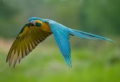 All about the Blue-Throated Macaw