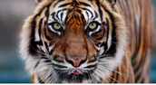 Save Indochinese Tigers, They save you.