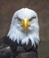 The bald eagle is looking at food i think or another bird