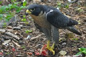 RECOVERED: Arctic Peregrine Falcon - Falco peregrinus