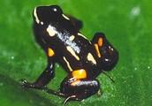 Brazil- Brazil-nut poison frog