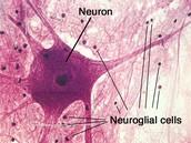 Nervous Tissue