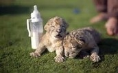 Brother and sister cubs for ever!