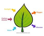 Photosynthesis on a leaf
