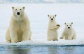 polar bear plunk