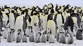 A Family of Emperor Penguins