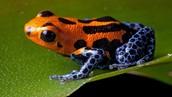 Poison arrow frog