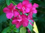The Oleander flower: