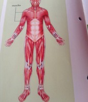 Muscular system consists of :