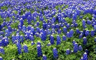 Picture of the state flower called the bluebonnet.