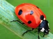 Laity Bug
